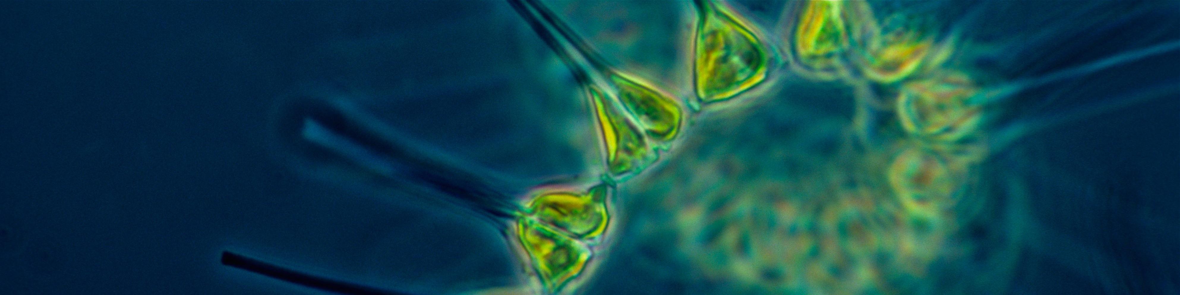 Ingredients-Slide-2-Phytoplankton